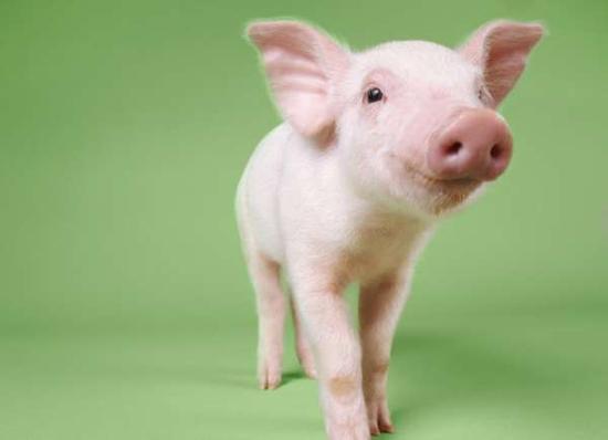 两只可爱猪猪图片