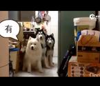 萌翻雪橇犬排排坐