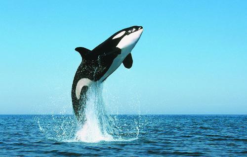 除生育外,将生态知识传给下一代是雌性物种提高其族群存活率的另一种方法。这或将解释为何雌性虎鲸和人类女性在停止生育后还能继续生存很久。