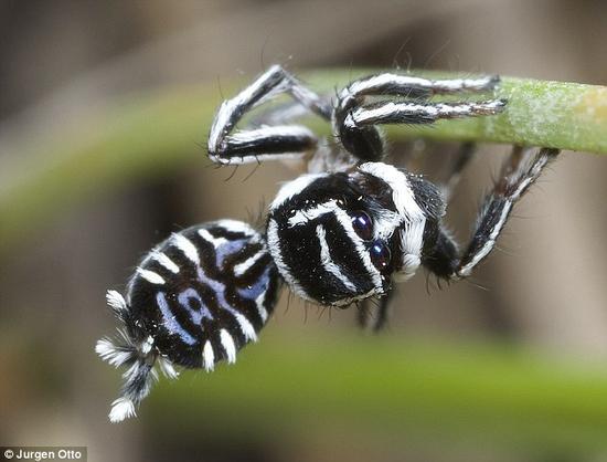 """尤尔根?奥托(Jürgen Otto)是一名昆虫学家,同时也是一名蜘蛛的摄影专家。他表示,""""骷髅""""看上去和其它孔雀蜘蛛都大不相同,因此他认为,孔雀蜘蛛的种类也许比我们想象的还要丰富和多样。"""