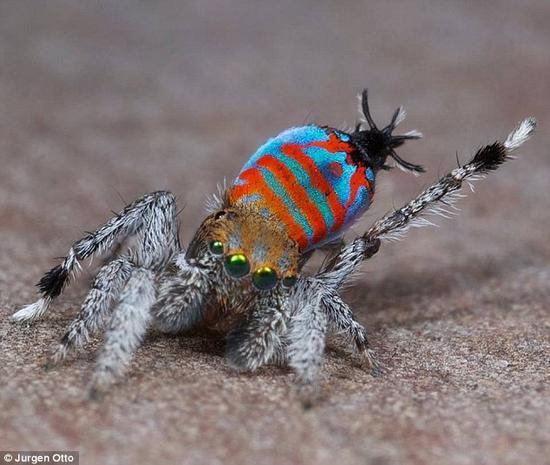 """两种新种类的蜘蛛近日在澳大利亚被发现。由于它们奇特的外表,它们分别得到了""""骷髅""""和""""闪光蛋糕""""(如图)的绰号。其中,前者会利用一种类似孔雀开屏的动作吸引配偶。两种蜘蛛都有着怪异的舞姿。"""