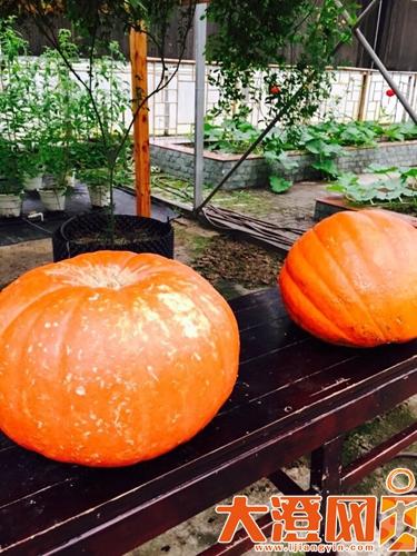 重量超过200斤的大南瓜。