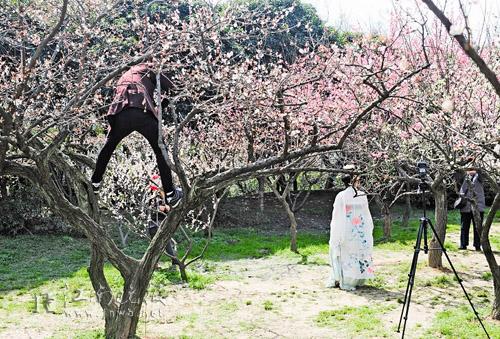 昨日,一名摄影爱好者在梅园的梅花树上拍摄