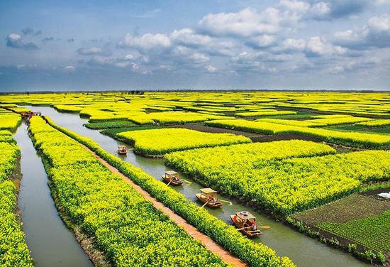 兴化种植油菜花已经有着超750年的历史