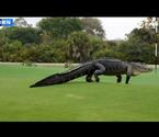 高爾夫球場現鱷魚