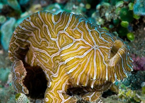 海洋专家在安汶岛发现这条印度尼西亚迷幻襞鱼