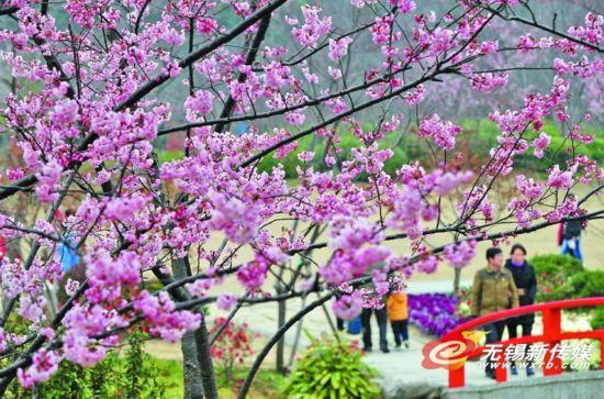目前早樱花已进入最佳观赏期。