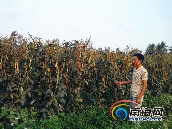 菜农8亩豇豆打农药后变黑