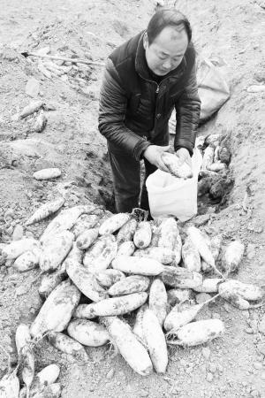 地里还埋着20万公斤白萝卜。