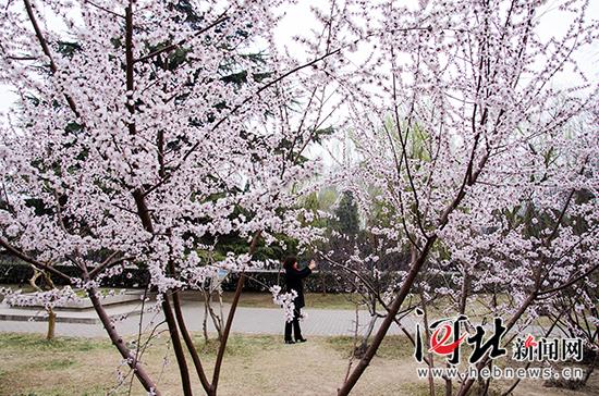 丛台公园梅花绽放。