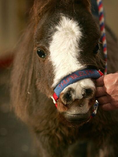 世界上最小的马:高度仅43厘米创吉尼斯记录