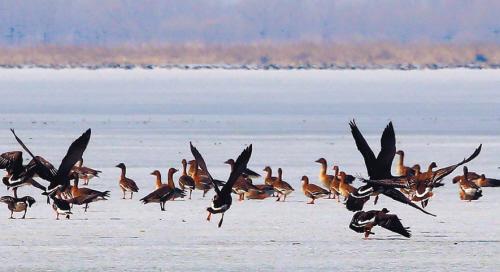 冰面上大雁飞起。