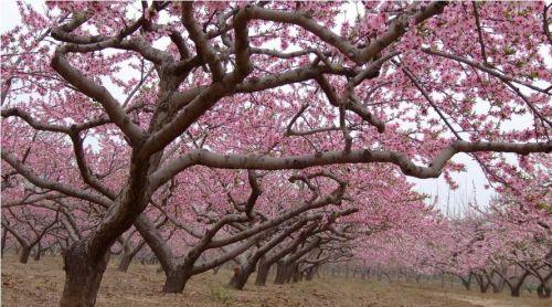 桃花吊坠古风手绘图