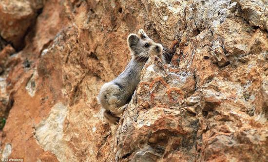 伊犁鼠兔时隔20年再次现身中国 比大熊猫稀有(图)