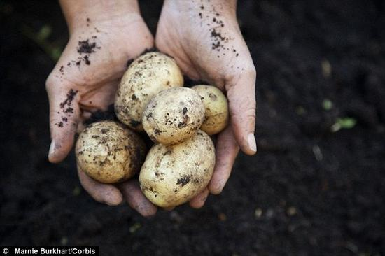 科学家称,他们离研发出一种吃起来更健康、种植成本更低和对环境更有利的转基因超级土豆又近了一步。照片展示了非转基因土豆。