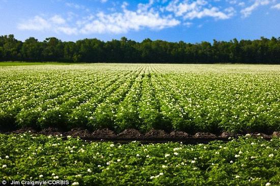 负责转基因超级土豆项目的琼斯教授表示,他们研发的新型土豆旨在更环保、降低生产成本、减少浪费和更健康。这位科学家希望仅在一年内进行田间试验。照片展示了一块种满土豆的田地。