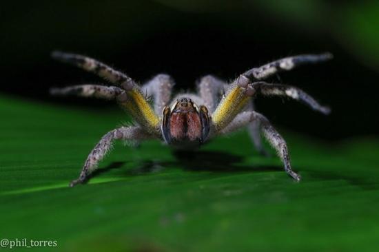 防卫中的香蕉蜘蛛,露出了红红的尖牙。