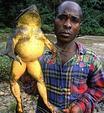 非洲巨蛙身长1米