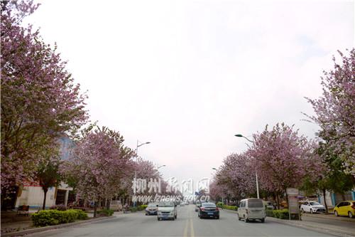 航银路两旁种满紫荆花