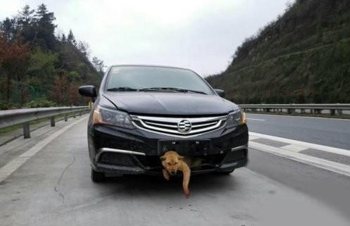 横穿高速公路时被撞;经检查小狗只受了轻伤 被车撞也要向前冲的汪星人