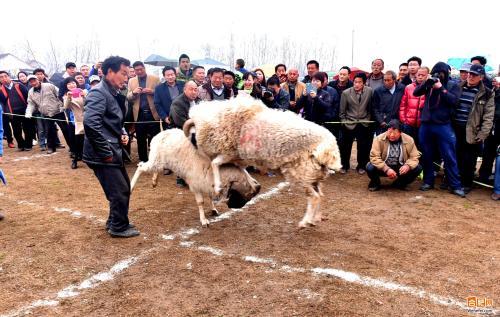 """砀山上演精彩""""斗羊""""大赛 已传承上千年(组图)"""
