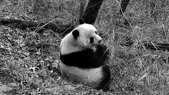 路邊大熊貓在吃竹子