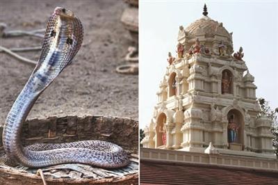印度女子娶眼镜蛇为妻