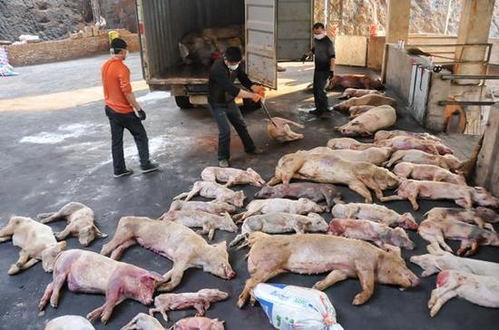 工人将病死猪运回龙岩市新罗区大池镇病死禽畜无害化处理厂准备高温烘烤处理(3月19日摄)。