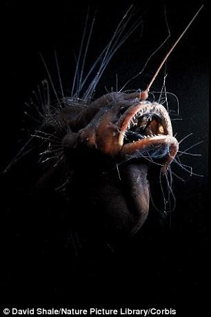 """在一些琵琶鱼种群,雄鱼的身体会与雌鱼融为一体,将自己变成一个寄生虫,成为依附于雌鱼存在的""""男友""""。最终,雄鱼会被雌鱼吸收,只留下一对睾丸,留着雌鱼备用。卵子需要受精的时候,雌鱼便利用睾丸中的精子完成这一过程"""