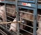 千吨问题猪肉流向全国