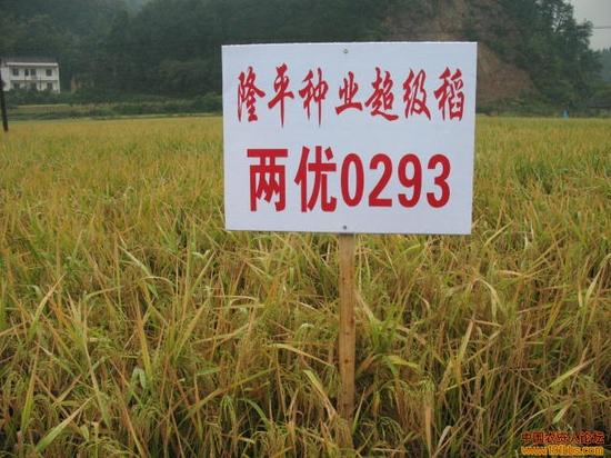 """结合隆平高科的""""两优0293""""在安徽出现大面积绝收事件,一些媒体报道认为,这应该引发农业界对""""重产量不重质量""""的反思。"""