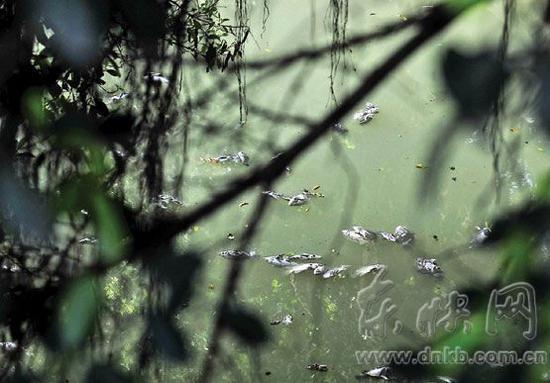 大面积死鱼漂浮在河面上