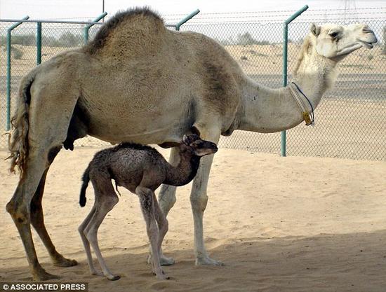 """科学家表示世界上第一头克隆骆驼""""因扎兹""""(Injaz)成功自然受孕。""""因扎兹""""今年6岁,是2009年一头屠宰骆驼的卵巢细胞克隆结晶。整个克隆过程借助一位代孕母亲完成。照片中的小骆驼便是""""因扎兹"""",当时只有6天大。"""