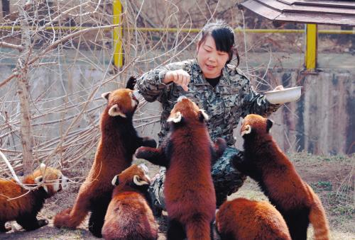 沈阳森林动物园小熊猫班新同学的幸福生活