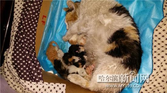 """在邢女士用纸盒棉被等搭成的临时""""产房""""里,流浪猫妈给顺利产下的8个"""