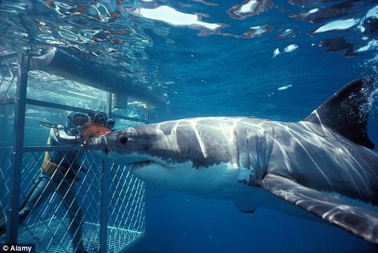 在笼子里潜水是接近鲨鱼最安全的方式。