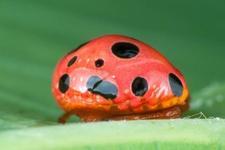 蜘蛛的伪装艺术:外形模仿蚂蚁瓢虫鸟粪