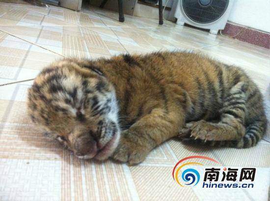 新出生的虎崽(南海网记者高鹏摄)