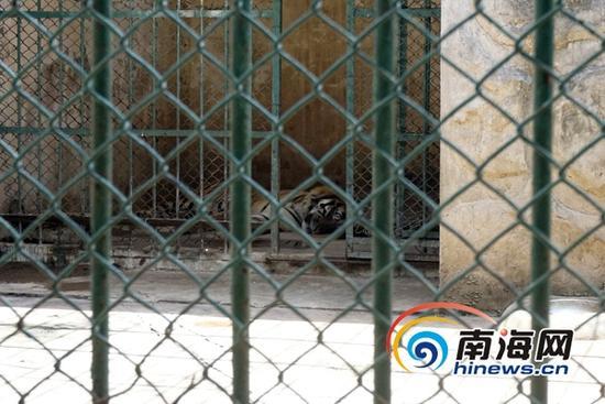 """金牛岭动物园目前食肉动物共有8只,其中有4只孟加拉虎、1只美洲虎、1只非洲狮、2只金钱豹。夭折的小虎崽是孟加拉虎""""泰哥""""和""""泰姐""""所生的第三只幼虎。(南海网记者 周静泊 摄)"""