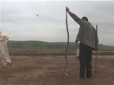 大蛇比人高,有2米多。