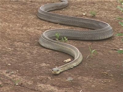大蛇游走迅速。 叶方龙 摄