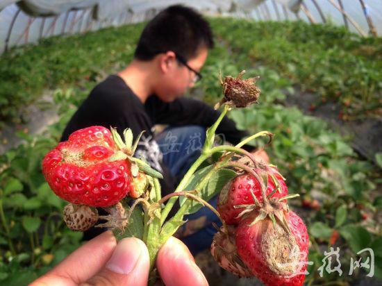 草莓烂在地里