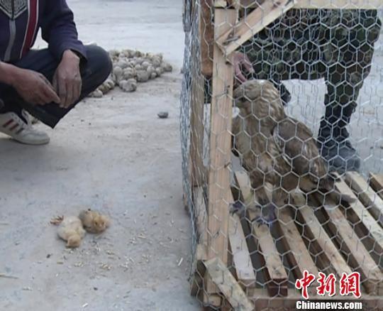 老鹰抓小鸡 反遭母鸡围困被抓 龙治强 摄