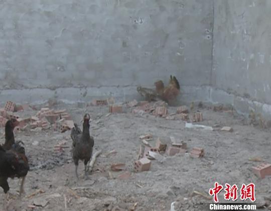 老鹰抓小鸡 反遭母鸡围困被抓。 龙治强 摄