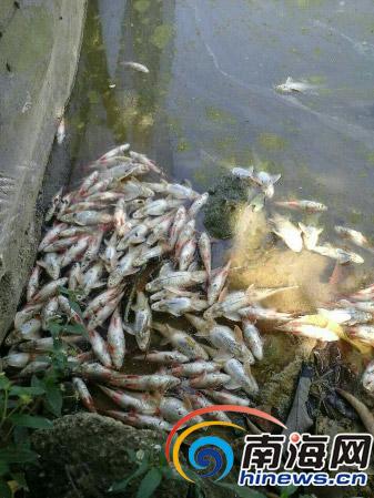 鱼塘里的死鱼(图片:黄先生提供)