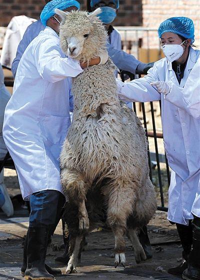 羊驼体检怕打针哭声像孩子