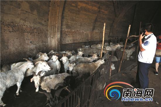 执法人员在现场清点这批涉嫌未经申报检疫的活羊。