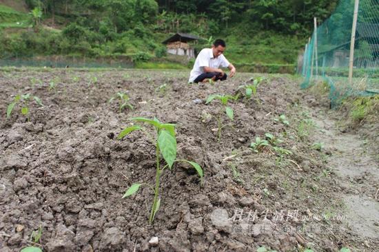 5月,地里的辣椒蹿苗了,它们是不少凤水村村民唯一的收入来源。