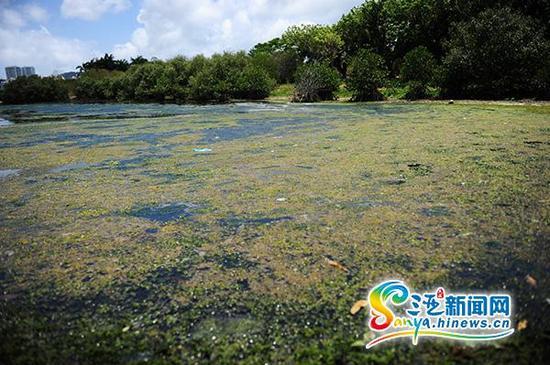 5月14日,三亚白鹭公园的湖面上出现大面积的青苔。(三亚新闻网记者 沙晓峰 摄)
