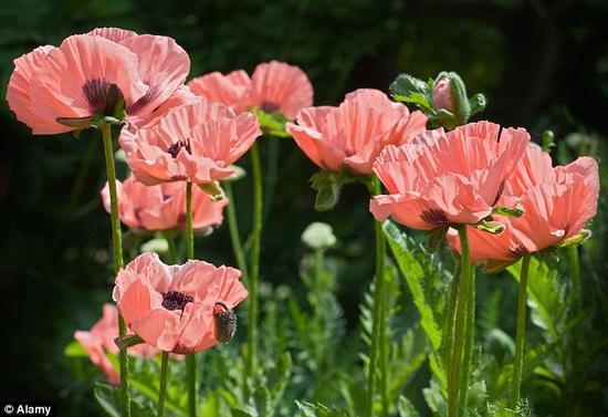 几个世纪以来,人们为提炼鸦片种植罂粟植物。医学用的吗啡就来自这种植物。
